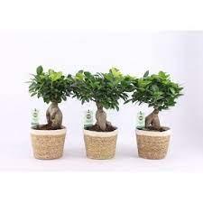 Ficus microc. Ginseng