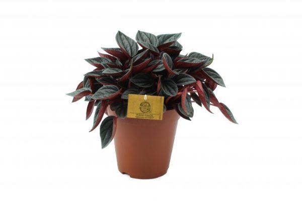 Peperomia santorini