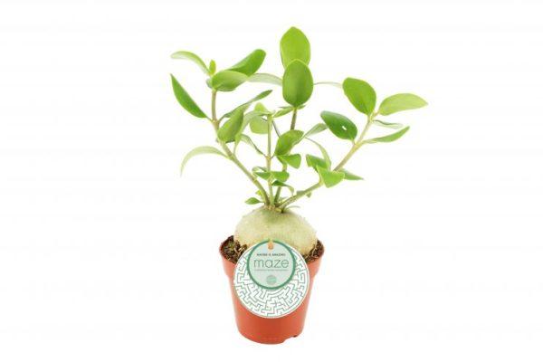 hydnophytum papuanum