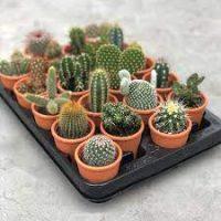 3 kamerplanten voor 3.99