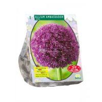 Allium Ambassador per 1