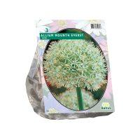 Allium Mount Everest per 3