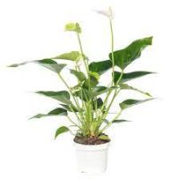 Anthurium ''White Champ''