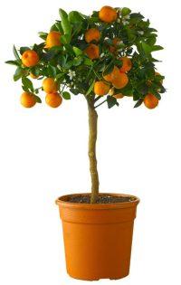 Citr Re Clementine