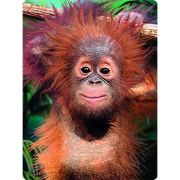 Livelife kaart 3D Orangutan