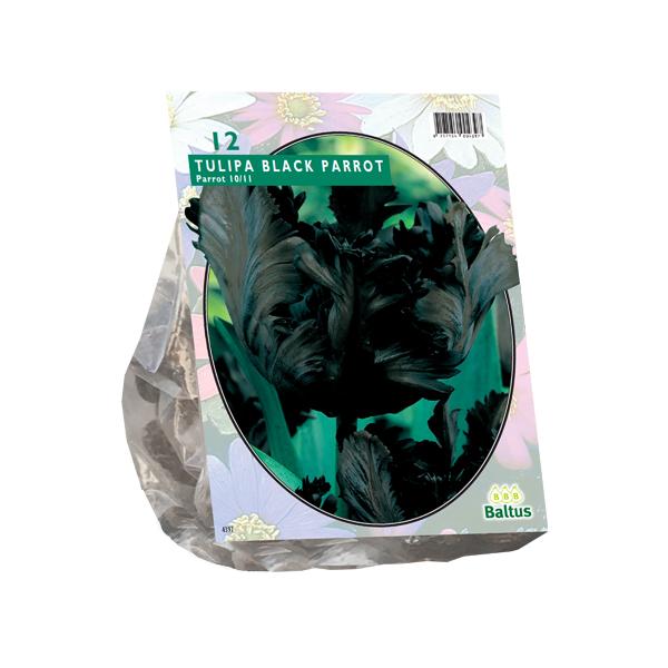Tulipa Black Parrot, Parkiet per 12