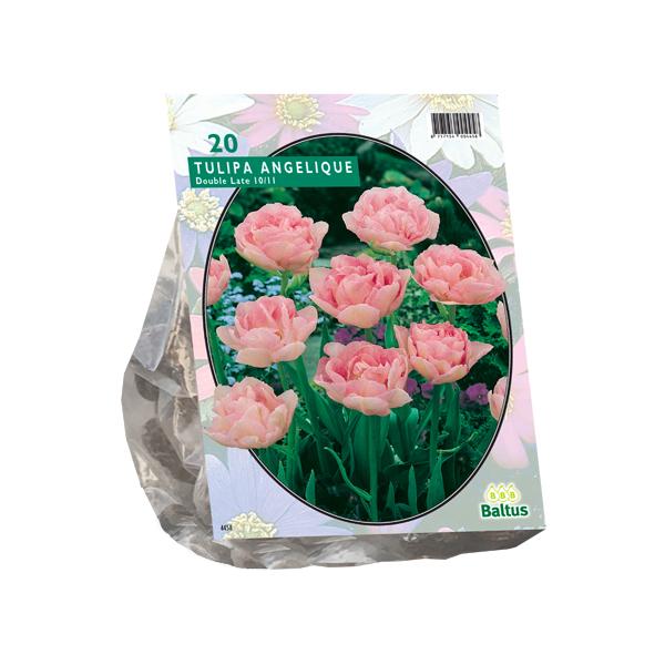 Tulipa Dubbel Laat Angelique per 20