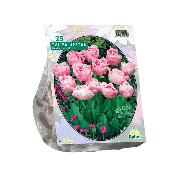 Tulipa Dubbel Laat Upstar per 25