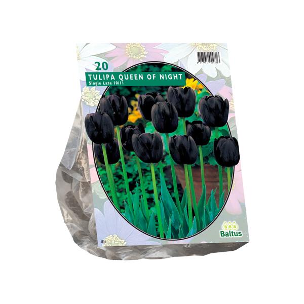 Tulipa Queen of Night, Enkel Laat per 20